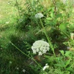Queen Anne's Lace_1680
